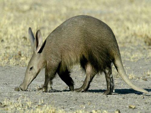 aardvark_432_600x450